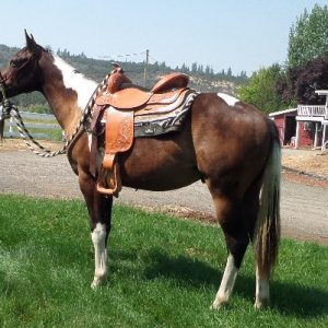APHA Paint Horse for Sale